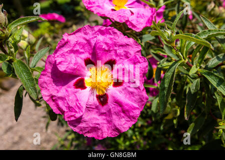 Pink Cistus (Rockrose) flower close up. - Stock Photo