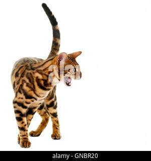 Male Bengal cat roaring isolated on white background  Model Release: No.  Property Release: No. - Stock Photo