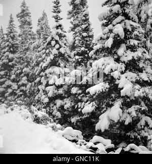 Evergreen Trees after early Fall Blizzard on Independence Pass, Colorado, USA, Marion Post Wolcott for Farm Security - Stock Photo