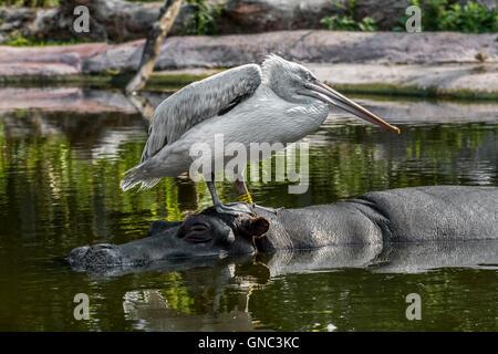 Dalmatian pelican (Pelecanus crispus) resting on head of hippopotamus (Hippopotamus amphibius) in pond at Antwerp - Stock Photo