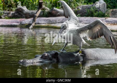 Dalmatian pelican (Pelecanus crispus) resting on hippopotamus (Hippopotamus amphibius) in pond at the Antwerp Zoo, - Stock Photo