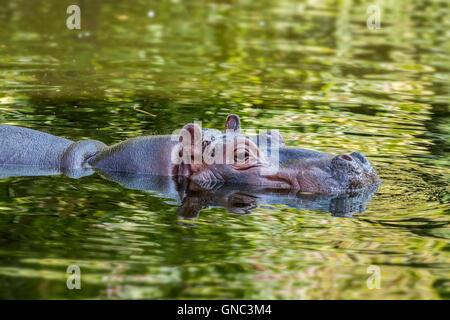 Common hippopotamus (Hippopotamus amphibius) partly submerged in pond at the Antwerp Zoo, Belgium - Stock Photo