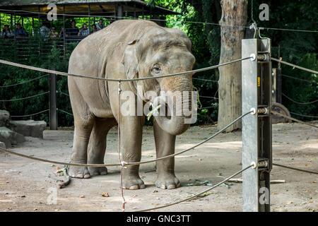 Asian elephant / Asiatic elephant (Elephas maximus) at the Antwerp Zoo, Belgiumat the Antwerp Zoo, Belgium - Stock Photo