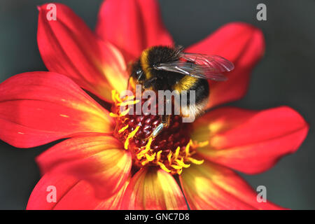 A bee pollinating in the late summer from a flower. - Stock Photo
