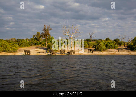 Small herd of African elephants Loxodonta africana on the banks of the Chobe river in Botswana with scrubland in - Stock Photo