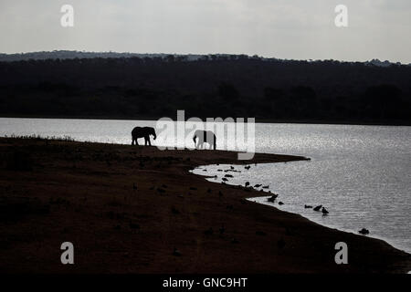 Two African elephants Loxodonta africana on the banks of a shallow lake in South Africa as night falls - Stock Photo