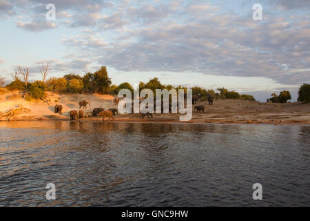 Herd of African elephants Loxodonta africana on the banks of the Chobe river in Botswana with scrubland in the background - Stock Photo