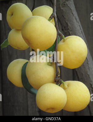 Asian pears growing on Asian pear tree - Stock Photo