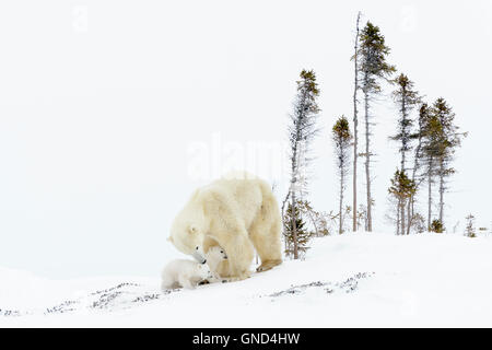 Polar bear mother (Ursus maritimus) with two cubs on tundra, Wapusk National Park, Manitoba, Canada - Stock Photo