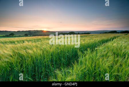 Sunset over a field of lush green barley in the Cornish countryside - Stock Photo