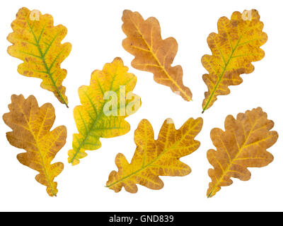 Set of seven brown and yellow oak leaves isolated on white - Stock Photo