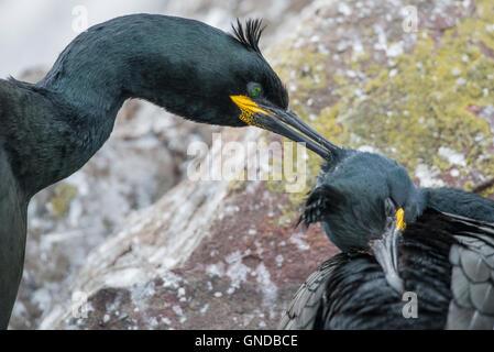 Shag (Phalacrocorax aristotelis) taken on the Farne Islands - Stock Photo