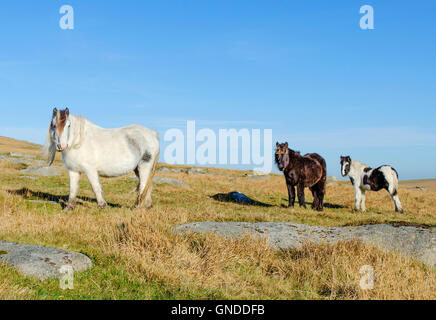 Wild ponies near Rough Tor on Bodmin Moor in Cornwall, England, UK - Stock Photo