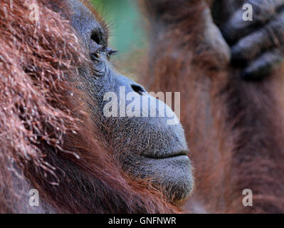 Portrait of an Orangutan taken in the forest at the Semenggoh nature reserve near Kuching. - Stock Photo