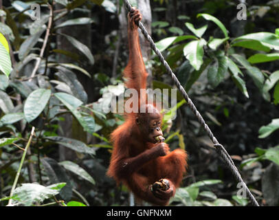 A baby Orangutan feeding on Bananas given to him at the feeding ground at the Semenggoh rehabilitation center near - Stock Photo