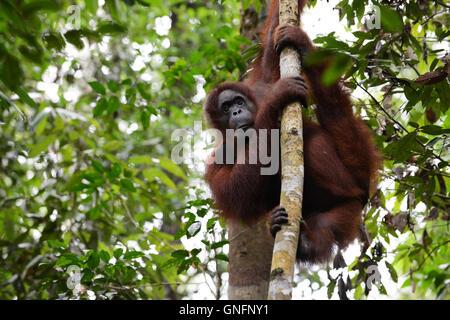 An Orangutan on a tree in Semenggoh Nature reserve. - Stock Photo