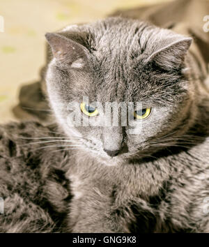 Adult nice gray cat deep in thought - Stock Photo