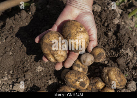 Man holding freshly dug potatoes - Stock Photo