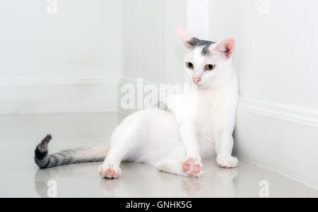 White cat is looking forward with blurred blackground and copy space - Stock Photo