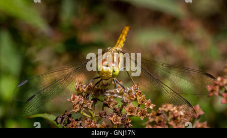 Common darter dragonfly (sympetrum striolatum) perched on a flower head, Yorkshire, UK - Stock Photo