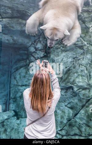 Woman using smartphone to photograph a polar bear at Journey to Churchill, Assiniboine Park Zoo, Winnipeg, Manitoba, - Stock Photo