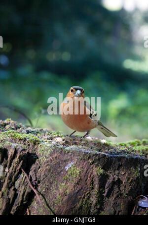 Common chaffinch, Fringilla coelebs. Male. Aveiro, Portugal - Stock Photo