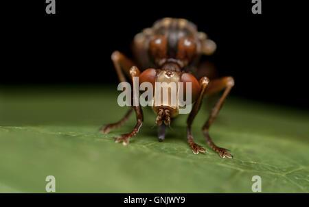 Sicus ferrugineus, a conopid fly - Stock Photo