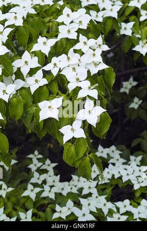White flowers of dogwood, dog wood, Blumenhartriegel Stock Photo ...
