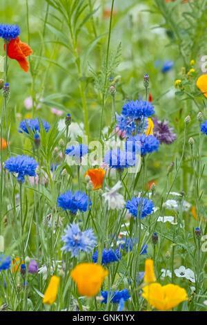 Cornflower (Centaurea cyanus) - Stock Photo