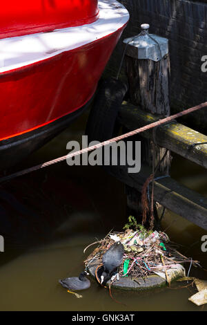 Wildlife scene - pair of Coots wildbirds nesting in nest of litter and rubbish on old tyre, Amsterdam canal, Holland, - Stock Photo