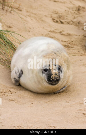 Grey Seal, Halichoerus grypus, pup on beach, Horsey Gap, Norfolk, England, UK - Stock Photo