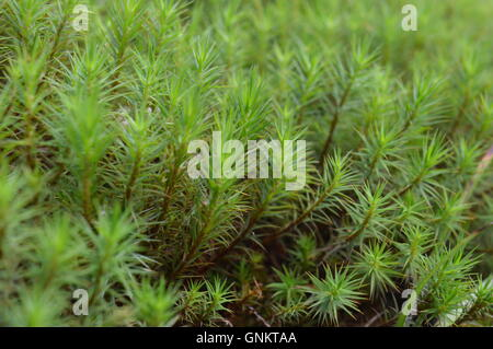 Close-up picture of green moss in a forest - Stock Photo