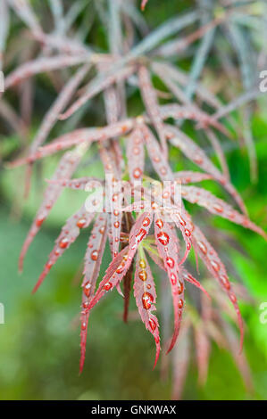 Close up of red Japanese Maple (Acer palmatum) leaves covered in water  drops. - Stock Photo
