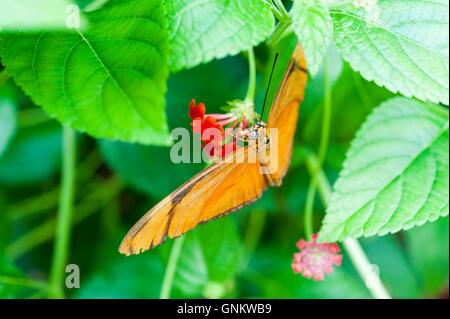 Orange Julia Heliconian or Dryas iulia butterfly, a species of brush-footed butterfly, perched on a flower - Stock Photo