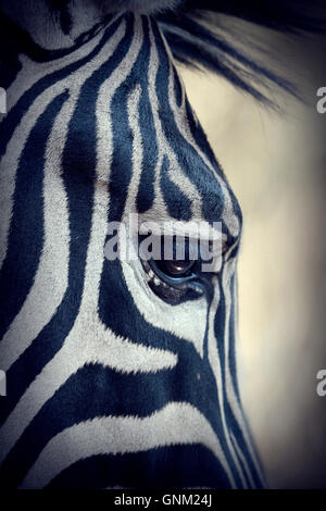 Zebra Face, detailed close up image - Stock Photo