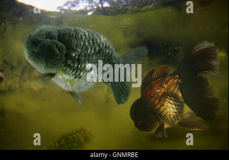 Goldfish, Carassius auratus. Lion head goldfish variety, on fish pond. Portugal - Stock Photo