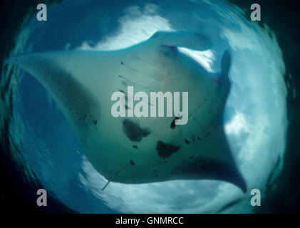 Giant manta, Manta birostris. Azores. Composite image. Portugal - Stock Photo