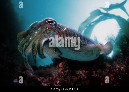 Common cuttlefish or European common cuttlefish, Sepia officinalis. Eating a Brown comber, Serranus hepatus. Portugal - Stock Photo