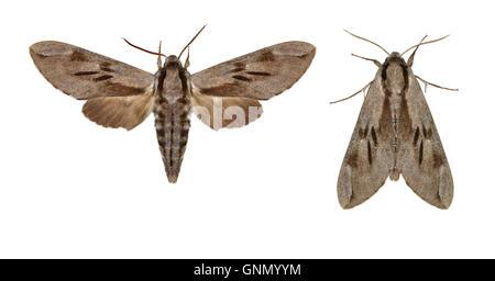 69.007 (1978) Pine Hawk-moth - Hyloicus pinastri - Stock Photo