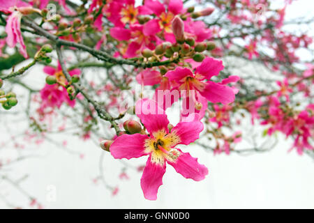 Flowers of Silk Floss Tree (Ceiba speciosa) - Stock Photo