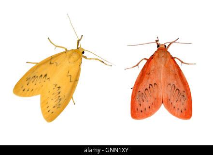 72.035 (2037) Rosy Footman - Miltochrista miniata left=unusual form right=typical form - Stock Photo