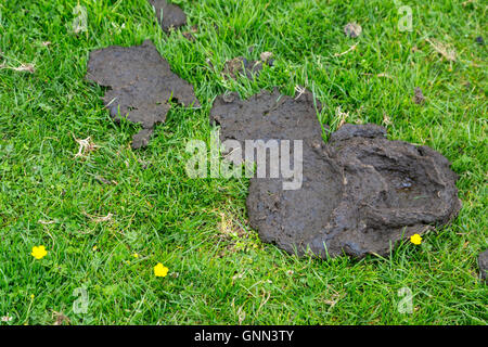 Northumberland, England, UK. Cow Manure in a Pasture on Hadrian's Wall Footpath. - Stock Photo