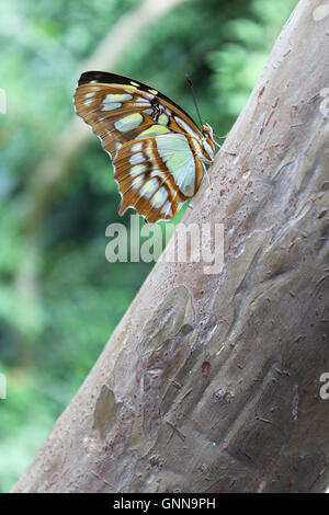 A malachite (Siproeta stelenes) is a neotropical brush-footed butterfly. - Stock Photo