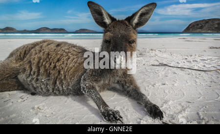 Lying Kangaroo on Lucky Bay in the Cape-Le-Grand National Park near Esperance - Western Australia - Stock Photo
