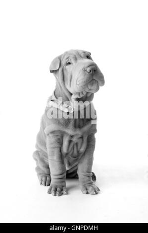 Chinese Shar Pei puppy dog - Stock Photo