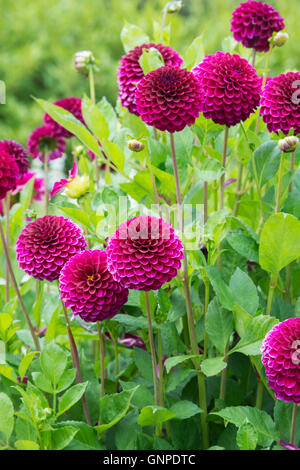 Dahlia 'Blyton royal velvet' flowers. Miniature Decorative Dahlia - Stock Photo