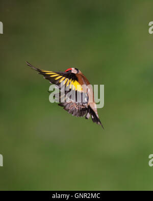 European Goldfinch (carduelis carduelis)  in flight - Stock Photo