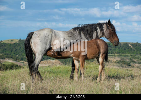 Wild Horses, (Equs ferus), Mustang, mother nursing foal,Theodore Roosevelt National Park, Badlands, N. Dakota USA - Stock Photo