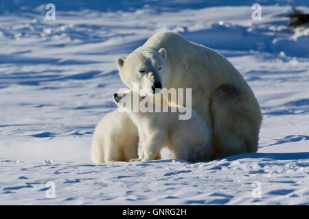 Polar Bear sow and two cubs Ursus maritimus on arctic tundra, Manitoba, Canada - Stock Photo