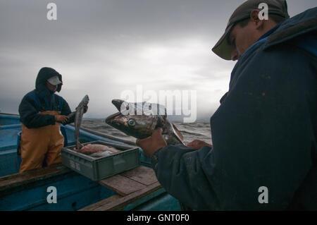 Line fishing for Sierra (Scomberomorus sierra) - Stock Photo